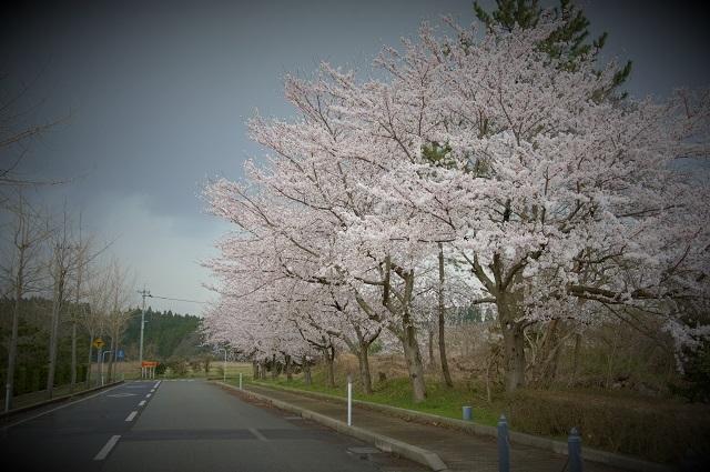 101鉢ケ崎の桜.jpg