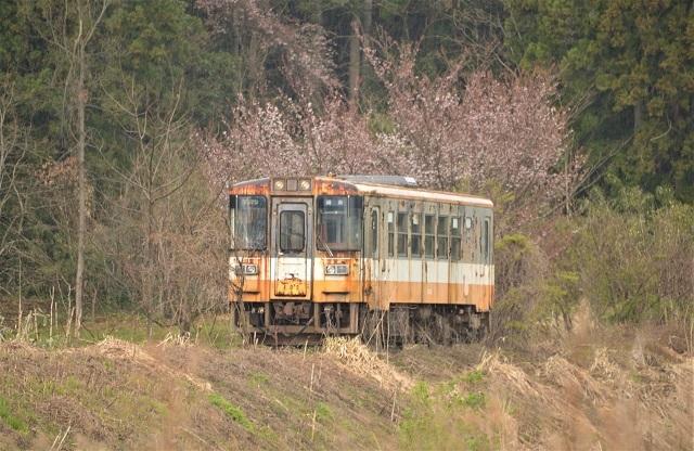 102留置さけた気動車と桜.jpg
