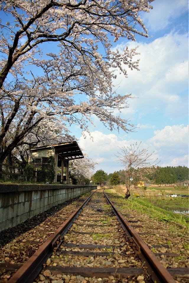 108蛸島駅の桜2.jpg