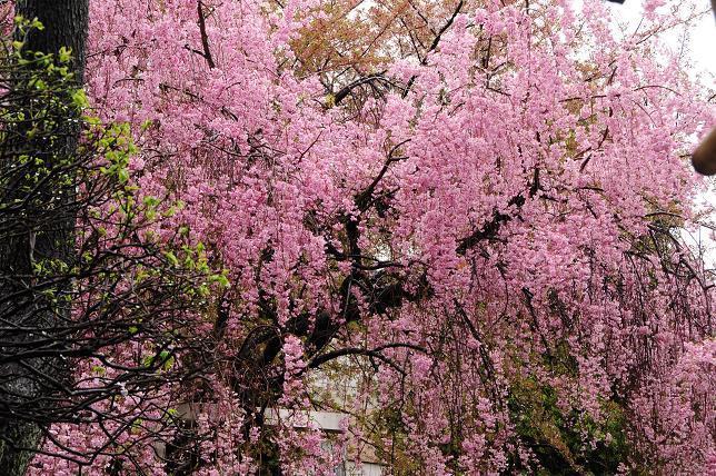 11白山神社枝垂桜.jpg