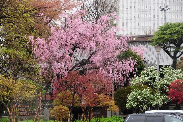 17白山神社枝垂桜.jpg
