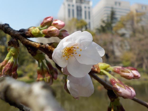 1桜咲く.jpg