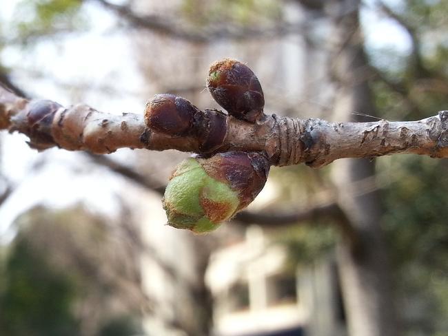 2013.03.08桜.jpg