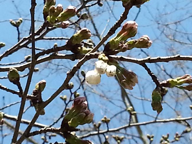 2013.03.15桜4.jpg