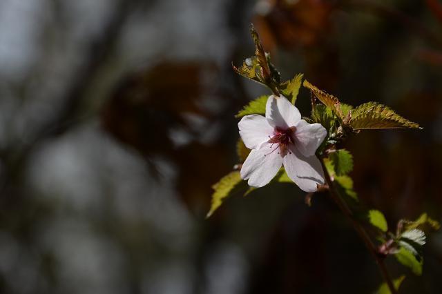 2山中野営場の富士桜.jpg