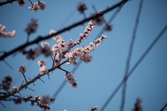 3杏の花.jpg