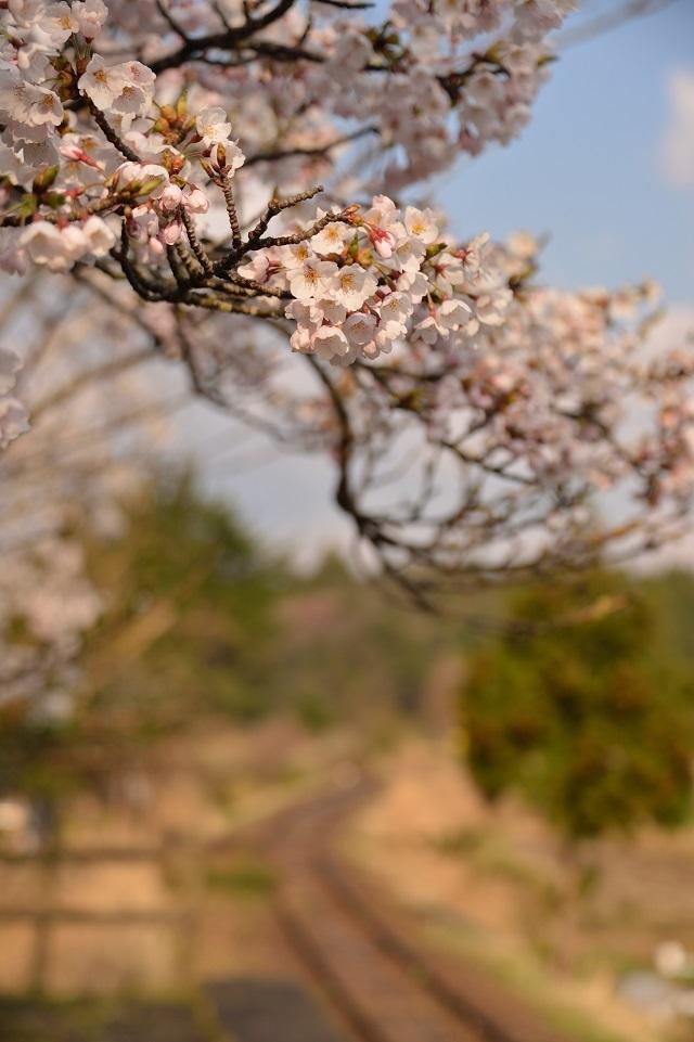 106蛸島駅の桜3.jpg