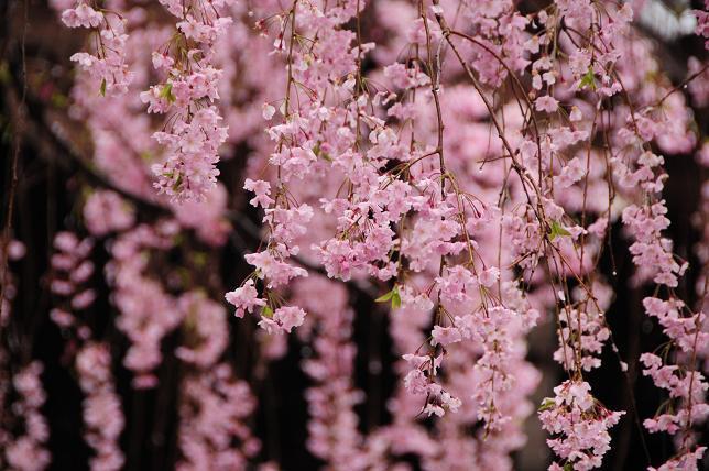 12白山神社枝垂桜.jpg