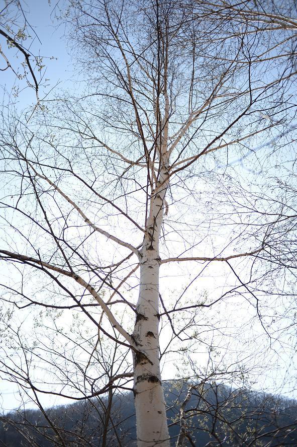 18西沢渓谷入り口の白樺.jpg