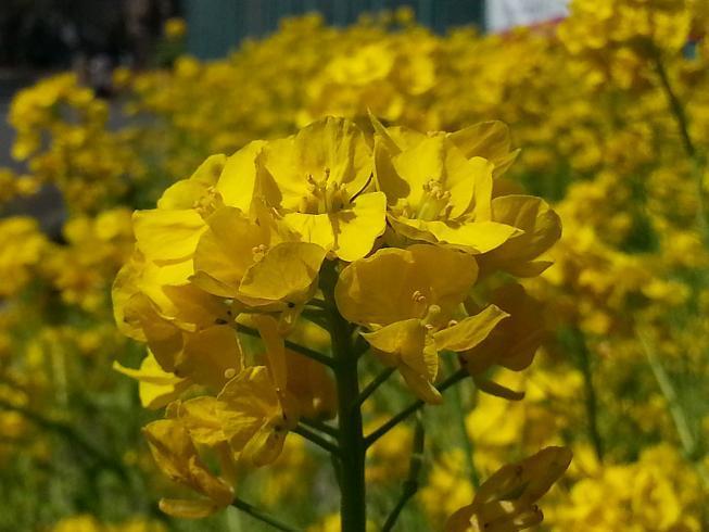 2013.03.15菜の花1.jpg
