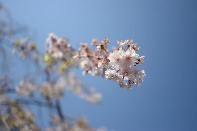 2小河内ダムの桜.jpg
