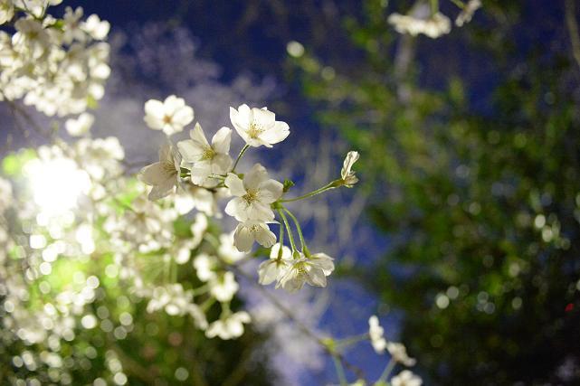 4四谷から市ヶ谷への外濠の公園の桜.jpg