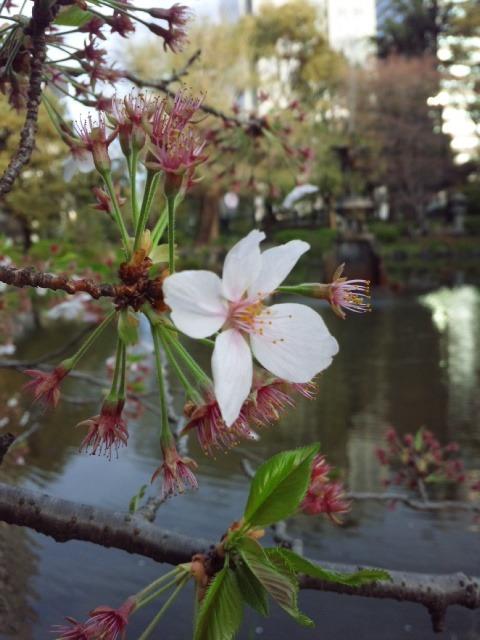 4日比谷公園 桜.jpg