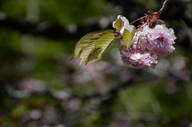 5富士霊園の八重桜.jpg