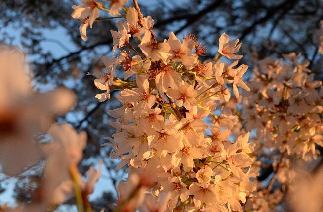 6 桜.jpg