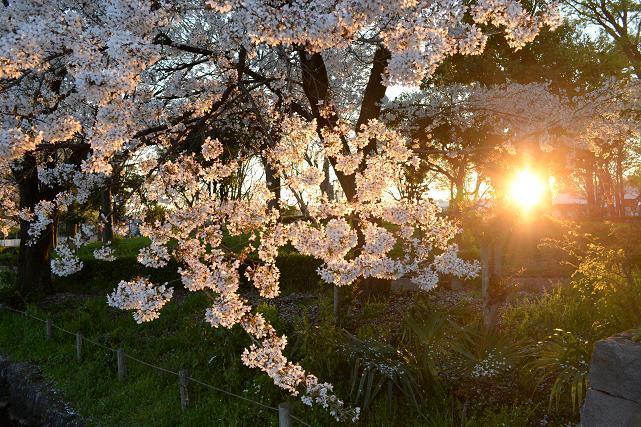 8 桜.jpg